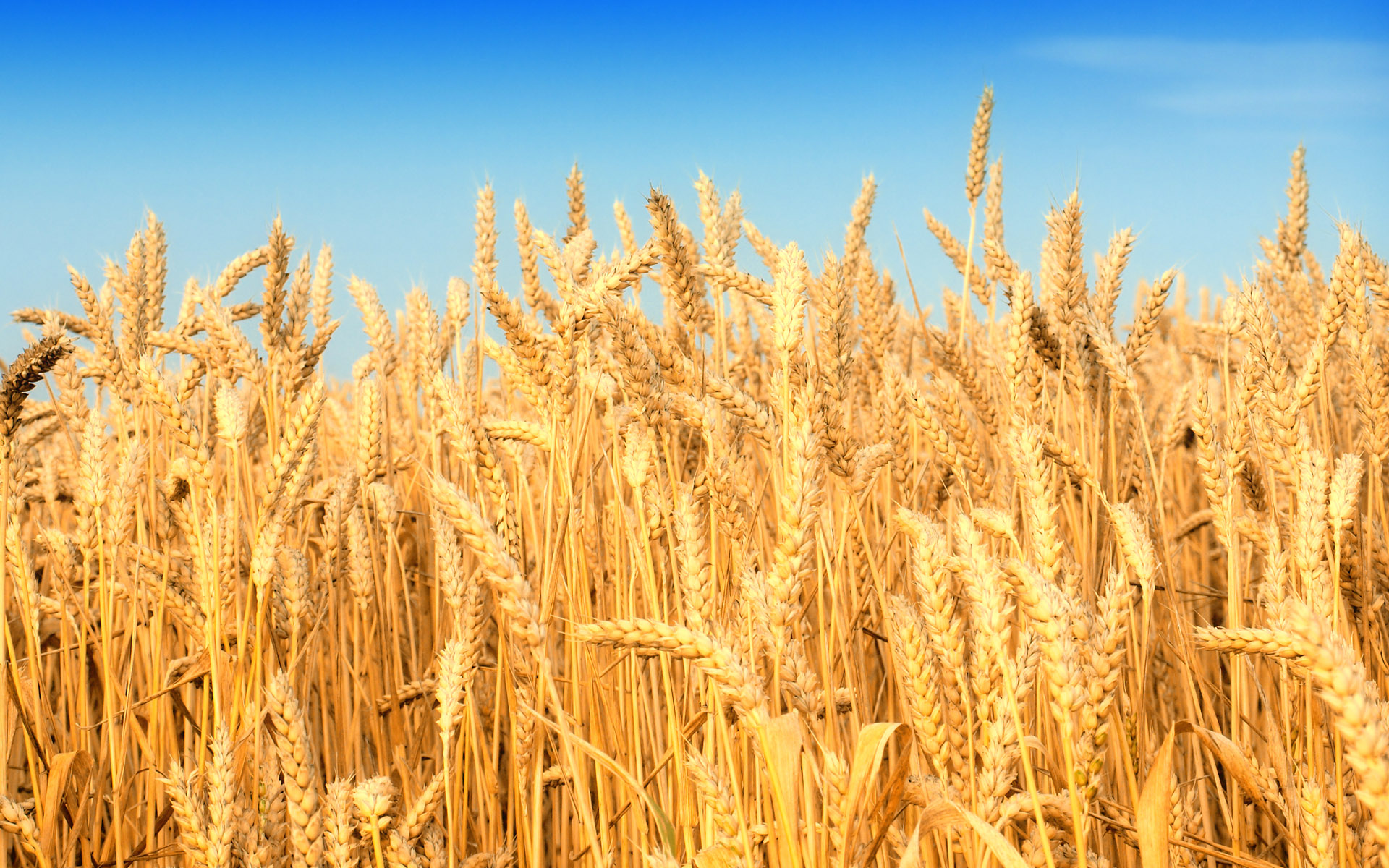 hd-wheat-crop-material